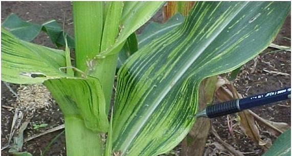 foto de enfezamento pálido do milho
