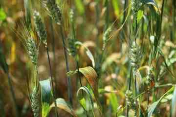 doenças do trigo