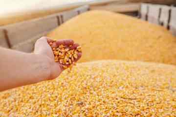 tipos de grãos de milho