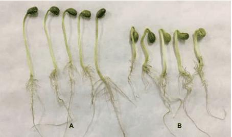 Foto de sementes de soja germinadas. As cinco primeiras possuem alto vigor, e estão bem maiores que as cinco últimas. As cinco últimas, com baixo vigor, estão murchas e com a semente caída.