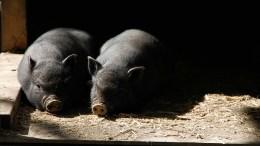 Abattoir, AFAAD contre la souffrance animale