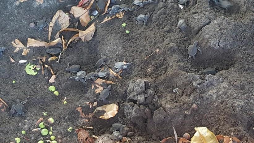Tortuguero Village Baby Turtles