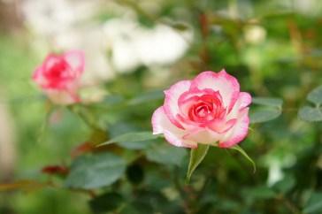 rose magic cc by T.Kiya
