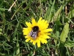 Foto gelbe Blüte mit Hummel