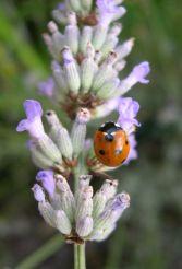 Foto Lavendelblühte