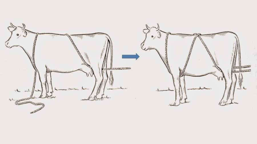 cara-menjatuhkan-sapi-kurban-tali