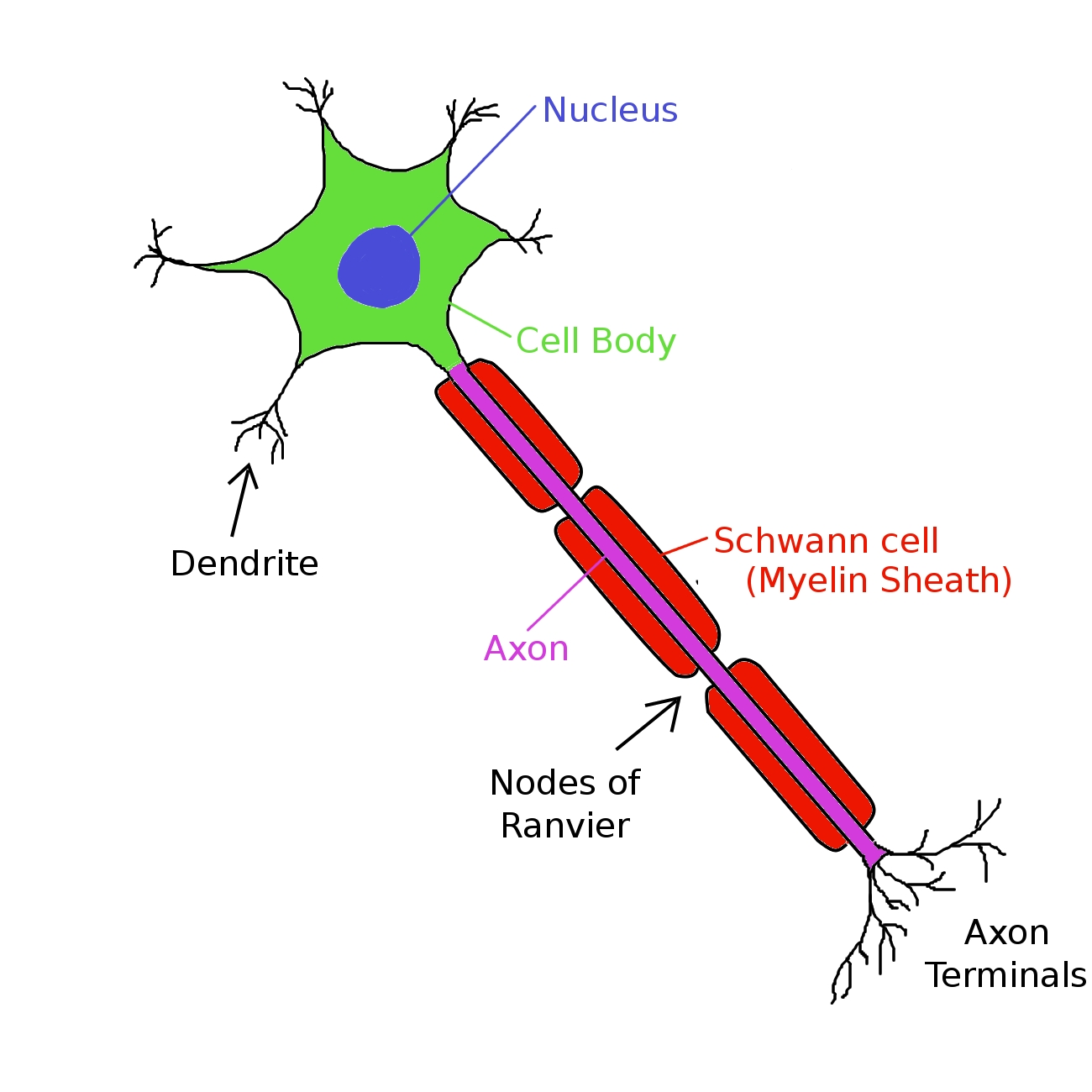 The Ultimate Guide To Neurotransmitters For Ap Psychology