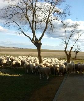 026 - El Descanso de los Corderos