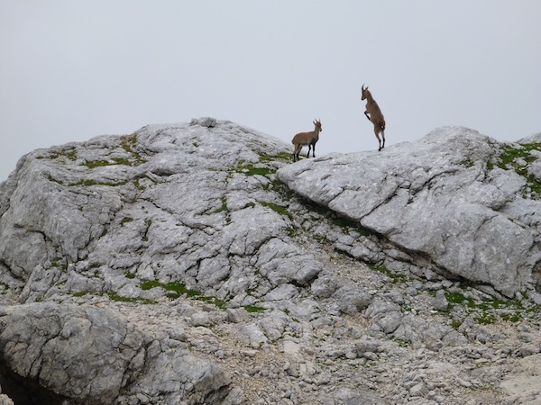 Unterwegs trafen wir viele Gämsen, aber leider keine Steinböcke.