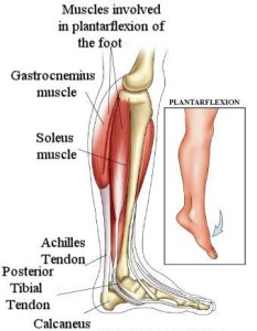 Post Tibial and other Tendons