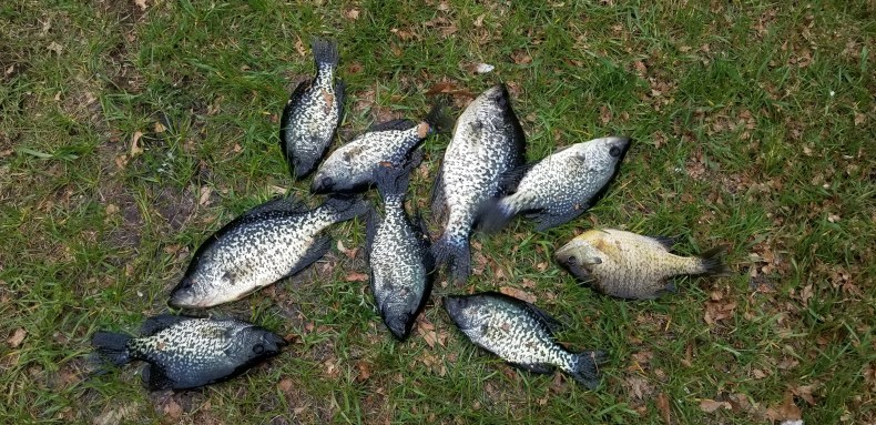 Mess of crappies.
