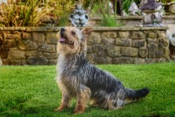 A portrait of Chester, a yorkshire terrier jack russell cross