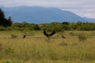 Rüppel's Vultures and Marabou stork having a feast