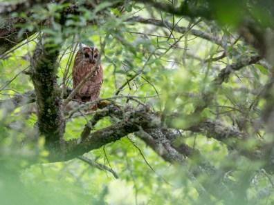 Adult Tawny Owl