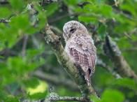 Older Tawny Owl Nestling