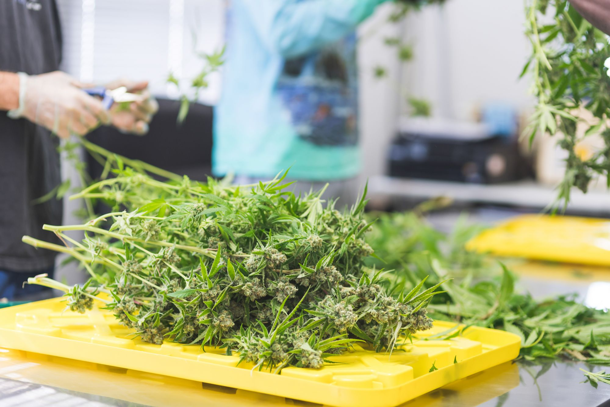 Solving Oregon's Weed Glut Could Solve the Industry's National Supply Chain Problems