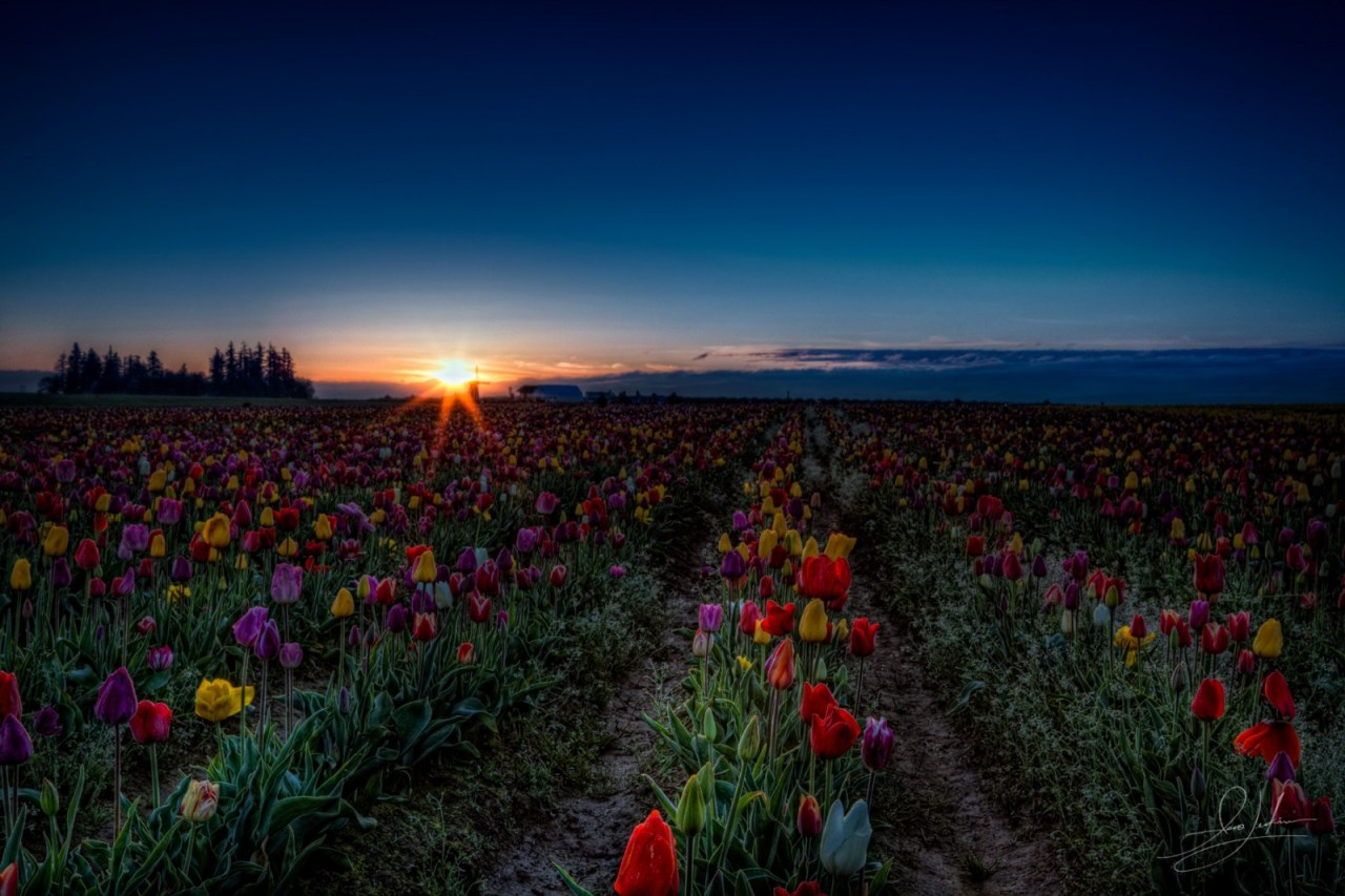 Tulip Feild Morning