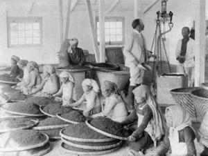 Tea leaves being cleaned in Darjeeling, India, circa 1865.