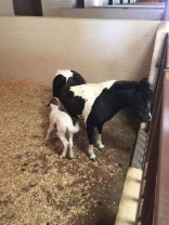Little baby miniature Horse - two days old