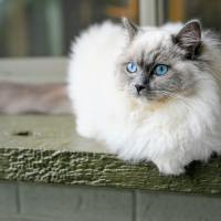 Buy Ragdoll Kittens with Silky Soft Coats From ATOME