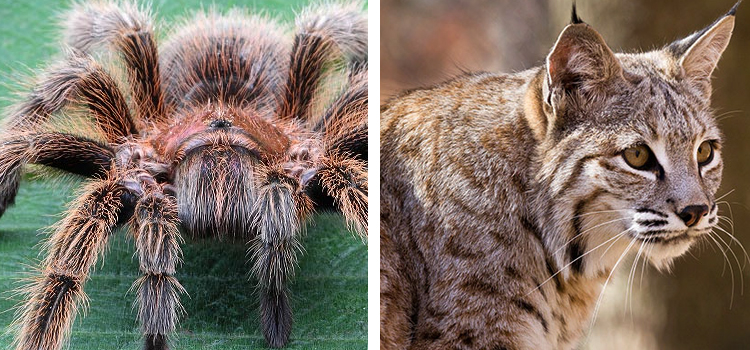 animals to look for while camping, picture of a tarantula on the left and a bobcat on the right, list of animals to look for while camping in the wild