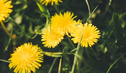 yellow dandelions edible wild plants