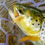 How to Tie an Egg Laying Caddis: Fly Tying Video