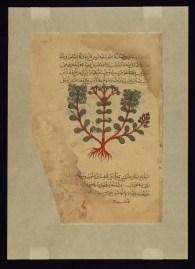 http://art.thewalters.org/detail/84299/a-type-of-thymelaea-called-ilyusqufinus/