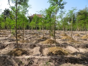 Clean organic Moringa Trees land