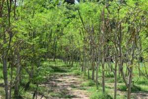 Organic moringa-land-baca-villa