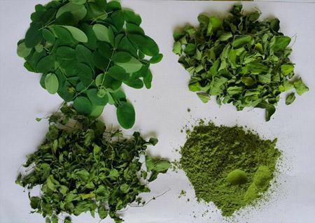 Organic-Fresh-Pre-dried-dried-Moringa-powder-Baca-Villa-Cambodia