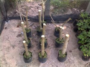 Organic Moringa growing Cambodia
