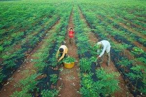 Organic-Moringa-Leaves-Cambodia-web