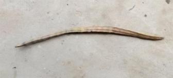 67cm-long-moringa-fruit