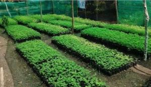 Moringa is an economically important tree and vegetable.