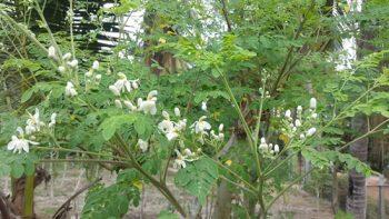 Moringa Flower Baca