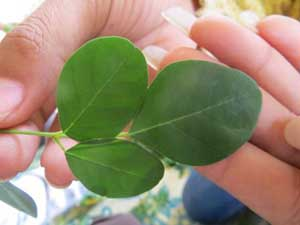 Diseases prevented by Moringa