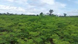 Moringa at Cambodia is coming. It offers perfect conditions for Moringa trees.