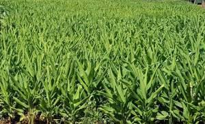 Its Moringa-Turmeric harvest time