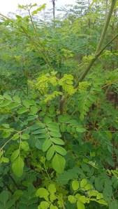 Organic-Moringa-at-Cambodia