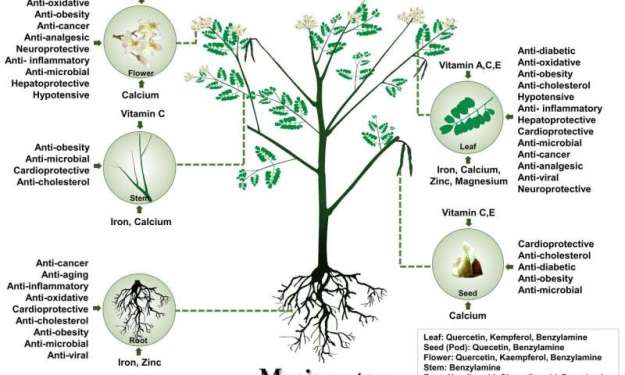 Genomics uncovers the mystery of the magic drumstick tree—Moringa oleifera