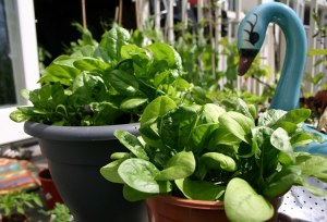 how to grow spinach in pots 1