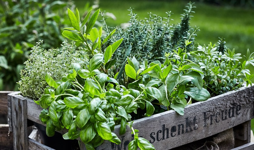 Thriving herb garden grown from seed packets