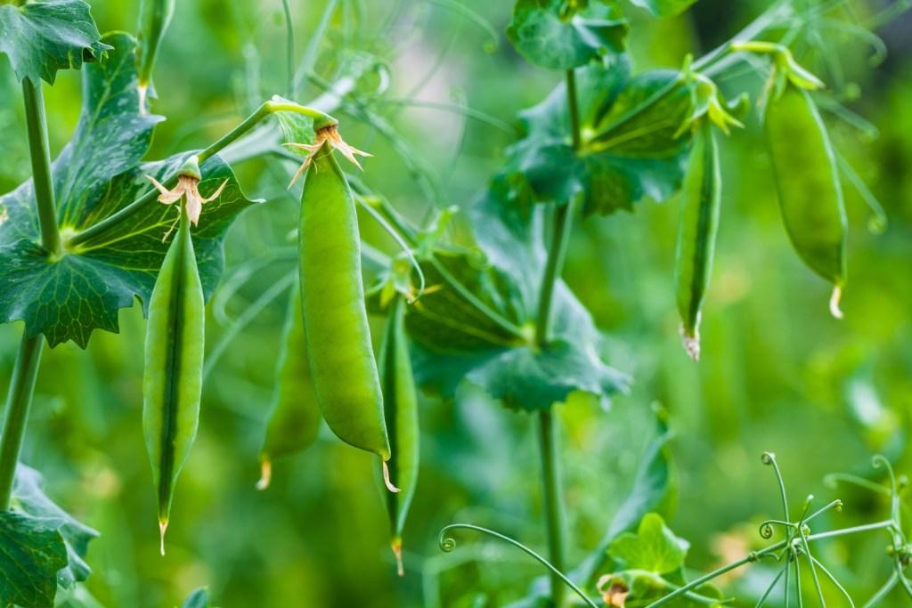 Easiest Vegetables To Grow: peas