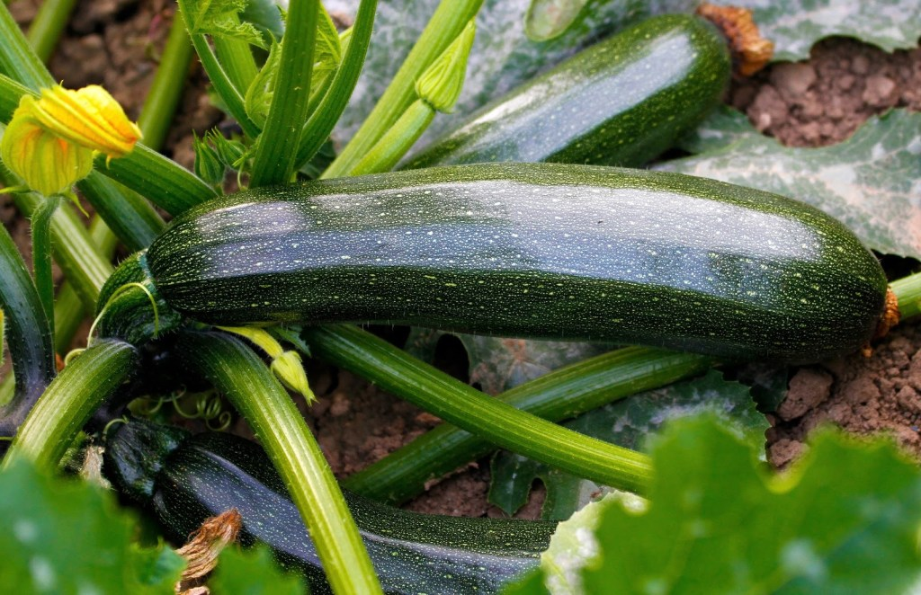 Zucchini is one of the Easiest Vegetables To Grow