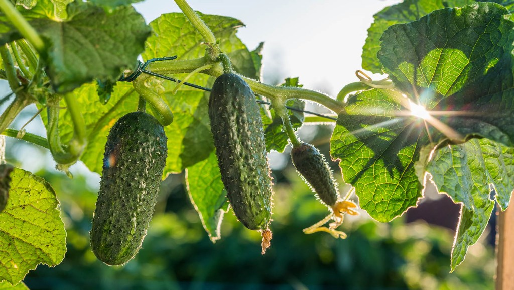 When to plant cucumbers: Cucumbers ripen in the sun