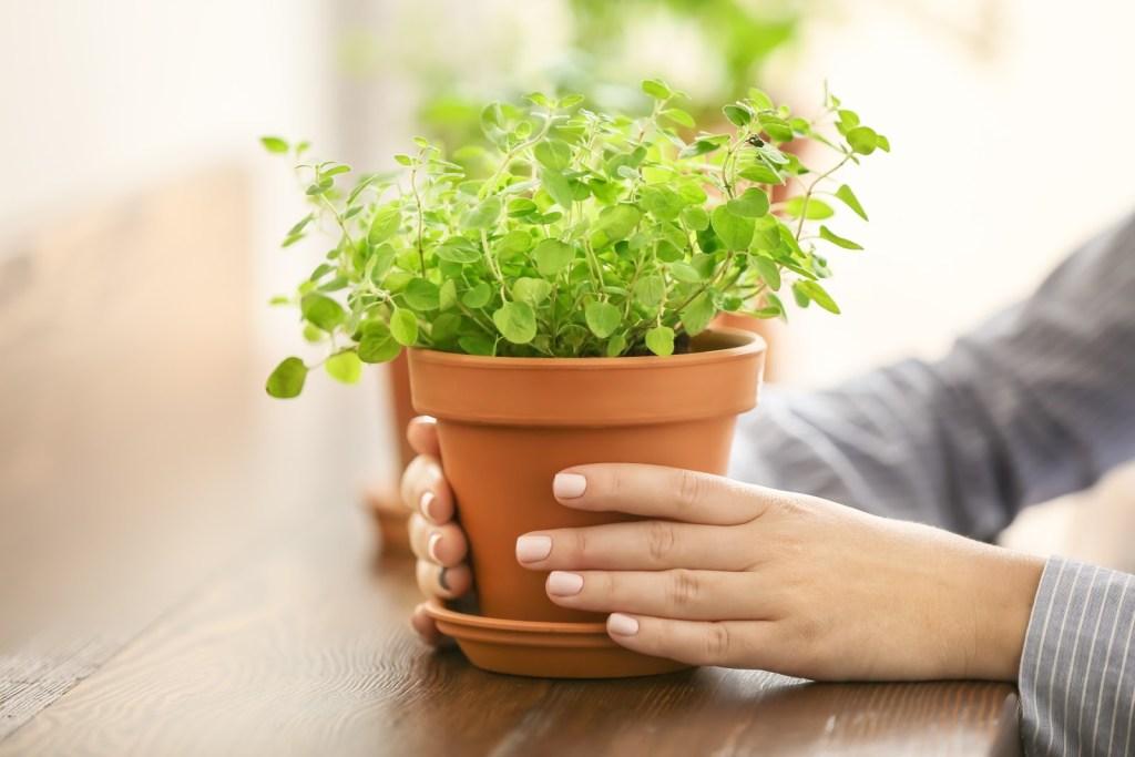 How to grow herbs: Terra cotta pot of oregano