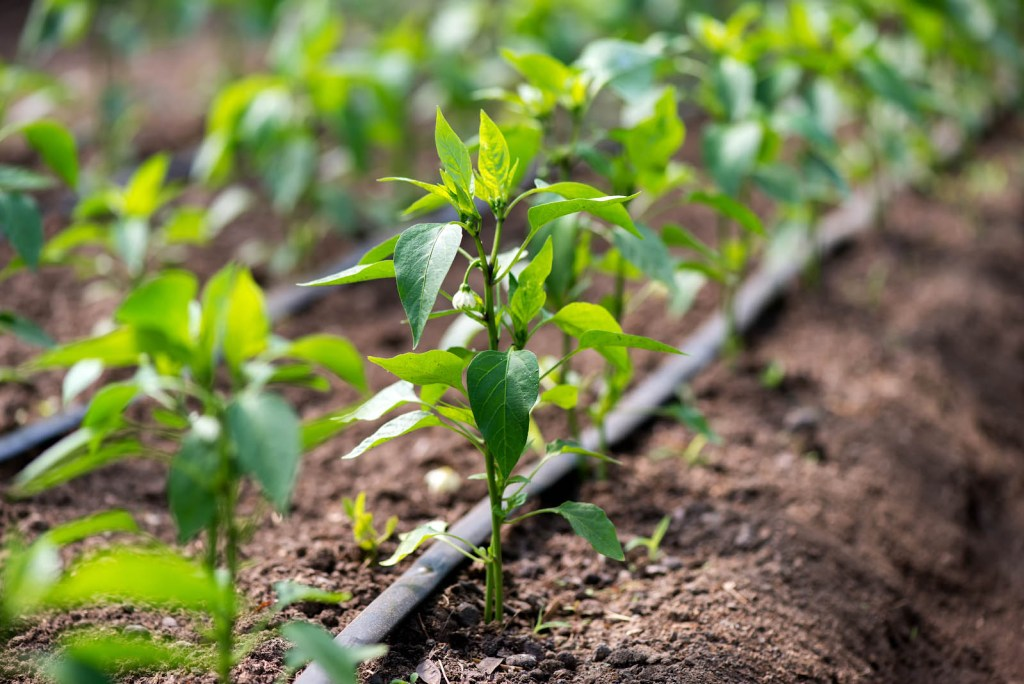 How to grow peppers: Green pepper seedling