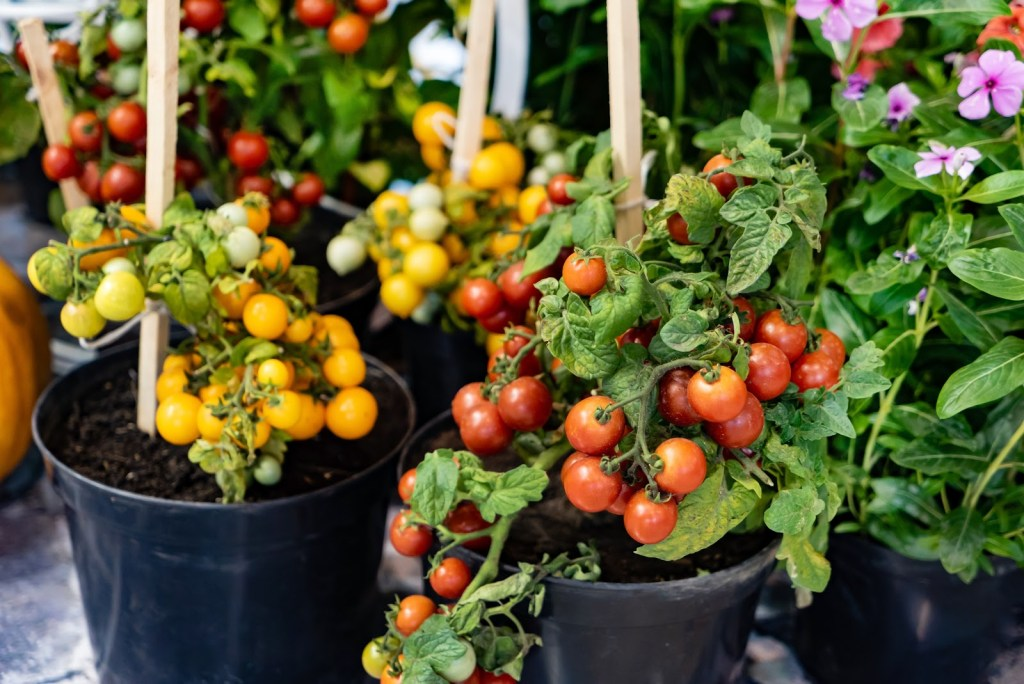 How to grow tomatoes in a pot: Several tomato plants in pots