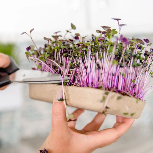 Hand cutting microgreen seeds in a plant bed
